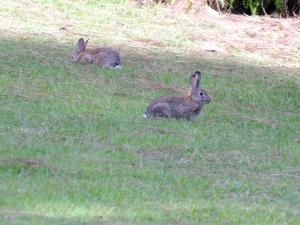 Late one afternoon, rabbits covered the lawns at Marsden House in San Diego at the upper end of Balboa Park.