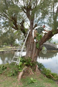 Master Gardener Keven removing Clusea and Ficus from an old ironwood (photo by Bill Eger)