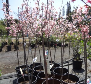 Okame ornamental cherry trees burst into bloom in Panaewa just outside Hilo at Mountain Meadows Nursery.  photo by K.T. Cannon-Eger