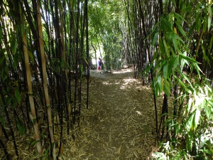 Here is an example of a properly thinned bamboo patch with a path through the middle.