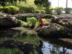 Wally Wong worked with Harvey Tajiri to clear this small section of the pond of invasive seaweed